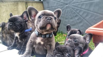 French Bulldog PUPPY FOR SALE ADN-96015 - Quality AKC Frenchies