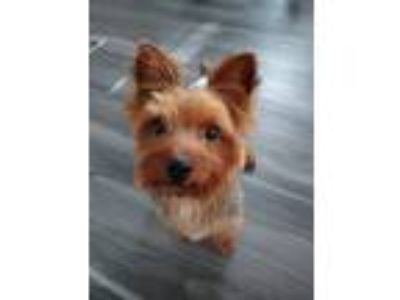 Adopt Gizmo a Yorkshire Terrier