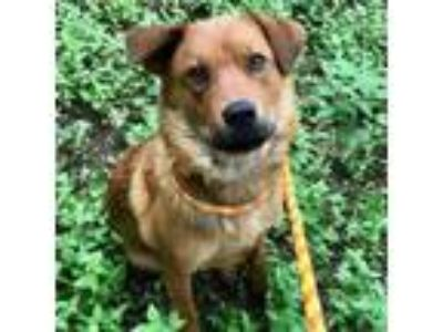 Adopt BEBE a Australian Shepherd, Mixed Breed