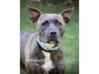 Adopt Tulip a Brown/Chocolate American Pit Bull Terrier / Mixed dog in Fond du