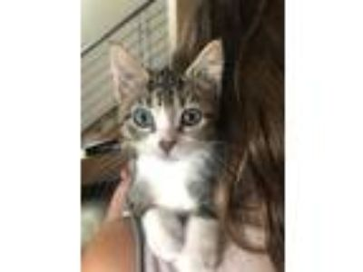 Adopt Nod a Brown Tabby Domestic Shorthair cat in Lafayette, CO (25933362)