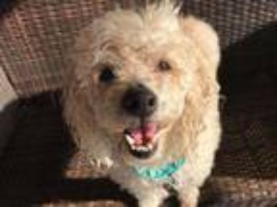 Adopt Happy a Bichon Frise / Poodle (Miniature) / Mixed dog in Ramona