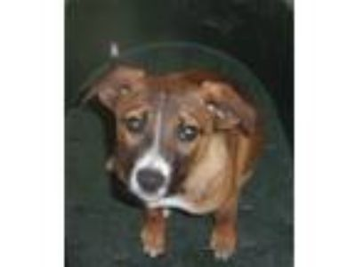 Adopt Foster Needed 5/18 - Riva a Brown/Chocolate - with White Boxer / Labrador