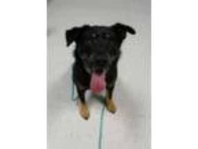 Adopt Jentry a German Shepherd Dog, Airedale Terrier