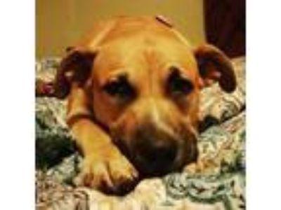 Adopt Pepper Ann a Terrier, Boxer