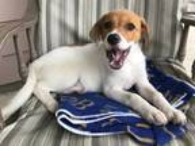 Adopt Jodie (Fostered in TN) a English Shepherd, Beagle