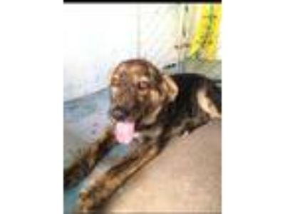Adopt Toby a Brindle German Shepherd Dog / Mixed dog in New Smyrna Beach