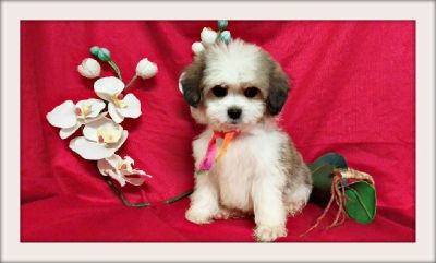 BEAUTIFUL MALTESE MIXED WITH SHIH TZU N SAN JOSE ! 415/936/4800