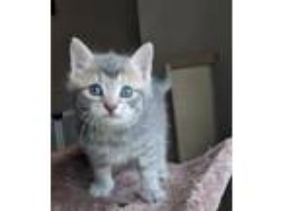 Adopt Cashew a Gray, Blue or Silver Tabby Domestic Shorthair / Mixed (short