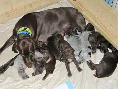 German Shorthaired Pointer PUPPY FOR SALE ADN-112196 - AKC Female Liver German Shorthaired Pointer Puppy