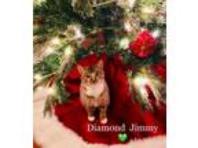 Adopt Diamond Jimmy a Brown Tabby Domestic Shorthair / Mixed (short coat) cat in