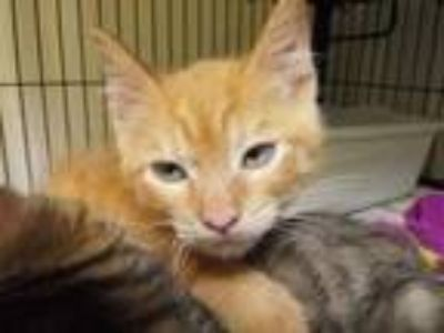 Adopt Corvus a Orange or Red Domestic Shorthair / Domestic Shorthair / Mixed
