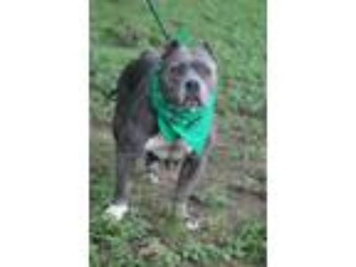 Adopt Blueberry a Pit Bull Terrier