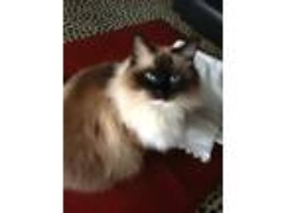 Adopt Kitty Carlisle a Brown or Chocolate (Mostly) Ragdoll (medium coat) cat in