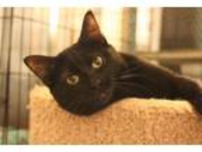 Adopt Kara a Domestic Short Hair