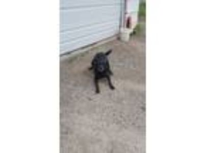 Adopt Bella a Black Labrador Retriever dog in Fort Wayne, IN (25201003)