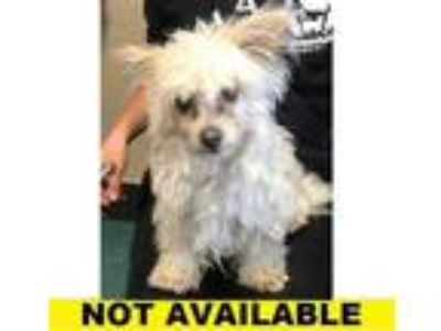 Adopt Sue a Tan/Yellow/Fawn Terrier (Unknown Type, Small) / Mixed dog in Eugene