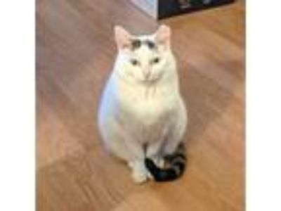 Adopt Mochi a White (Mostly) American Shorthair cat in Basking Ridge