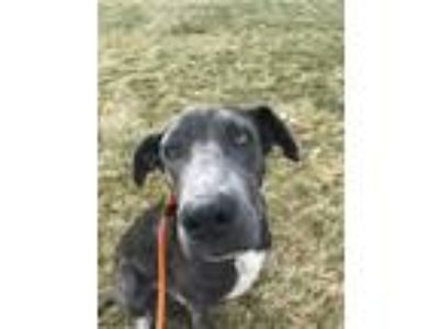 Adopt TUCKER a Black - with Gray or Silver Labrador Retriever / Mixed dog in
