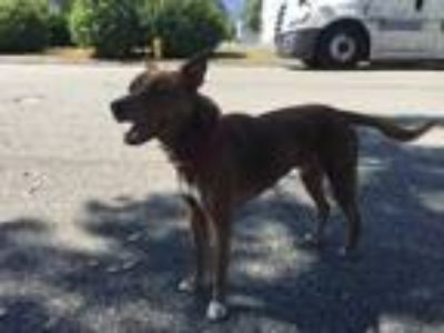 Adopt BOSS a Red/Golden/Orange/Chestnut - with White Pharaoh Hound dog in