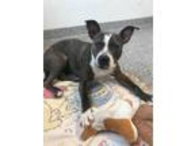 Adopt Lexi a Brindle American Pit Bull Terrier / Mixed dog in Chesterfield