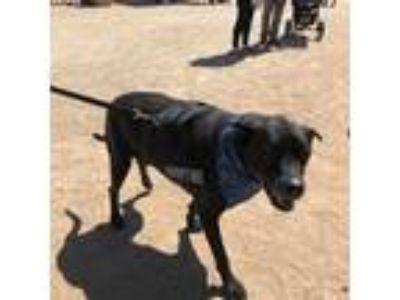 Adopt Black Jack a Great Dane, Labrador Retriever