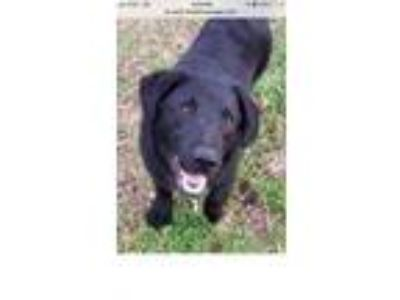 Adopt Bear a Labrador Retriever