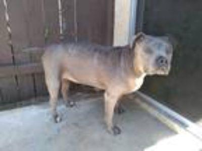 Adopt Blu a Gray/Blue/Silver/Salt & Pepper American Pit Bull Terrier / American