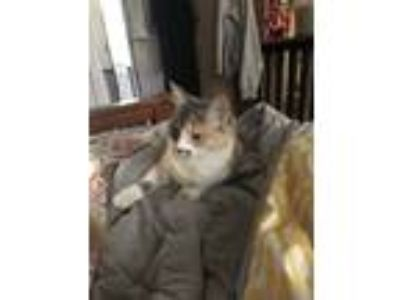 Adopt Tabitha a Calico or Dilute Calico Domestic Longhair / Mixed cat in