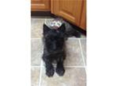 Adopt MIKE in AL a Black Cairn Terrier / Mixed dog in Fort Worth, TX (24828016)
