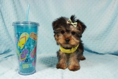 CKC Teacup Yorkies available in Las Vegas, Nevada!