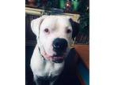 Adopt Mongo a White - with Brown or Chocolate Boxer / Mastiff / Mixed dog in