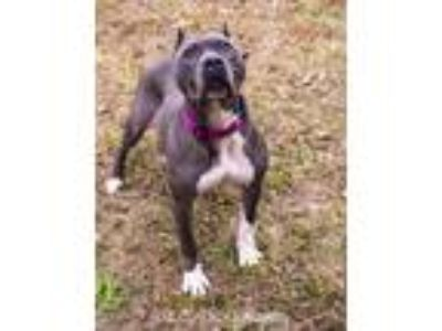 Adopt Joy a Gray/Silver/Salt & Pepper - with White American Pit Bull Terrier /