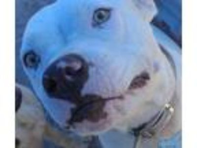 Adopt Aspen a American Staffordshire Terrier
