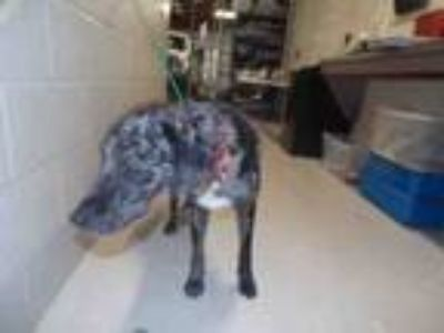 Adopt BLUE a Catahoula Leopard Dog, Mixed Breed