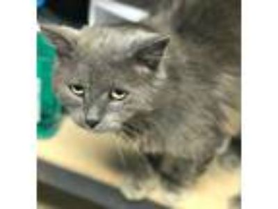 Adopt Cosmo a Domestic Long Hair