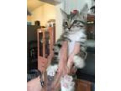 Adopt Marcus a Brown Tabby Domestic Shorthair cat in Parlier, CA (25636517)