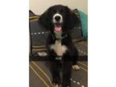 Adopt Gus a Border Collie / Newfoundland / Mixed dog in Laingsburg