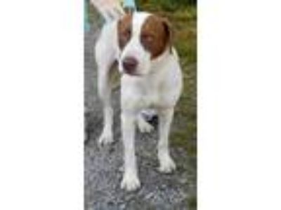 Adopt Sam 5-18-19 a White - with Brown or Chocolate Pointer / Mixed dog in