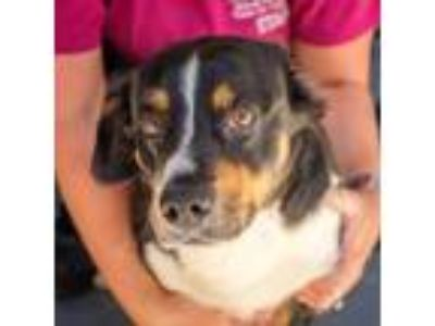 Adopt Low Rider a Black Corgi / Basset Hound / Mixed dog in Blairsville
