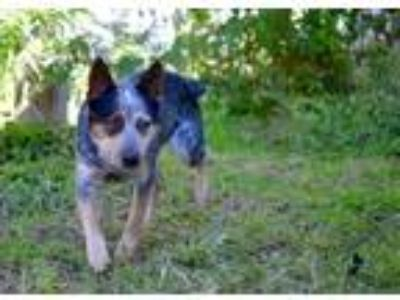 Adopt Jack a Tricolor (Tan/Brown & Black & White) Australian Cattle Dog dog in
