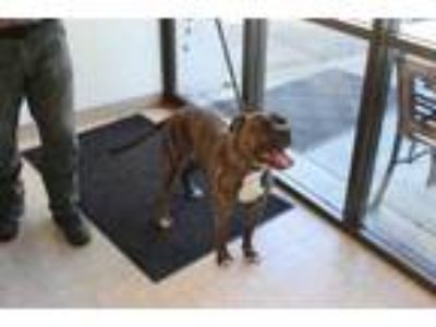 Adopt Sampson a Brindle American Pit Bull Terrier / Mixed dog in Albany