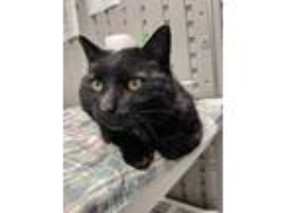 Adopt Petunia 3 a All Black Domestic Shorthair / Domestic Shorthair / Mixed cat