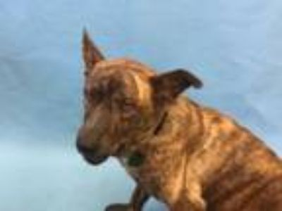 Adopt Avery a Dutch Shepherd, Mixed Breed