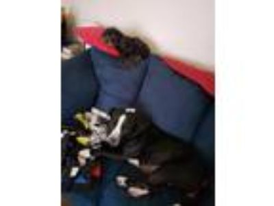 Adopt Peaches a Black - with White American Pit Bull Terrier / American