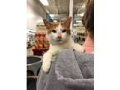 Adopt Colin a Orange or Red (Mostly) Domestic Shorthair (short coat) cat in