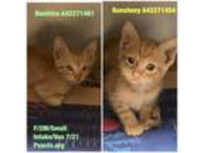 Adopt Beatrice a Orange or Red Domestic Shorthair / Domestic Shorthair / Mixed