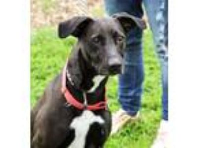 Adopt Missy a Black - with White Labrador Retriever / Mixed dog in Martinsville