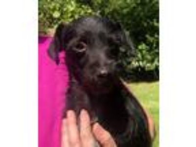 Adopt Edie Falco a Black Terrier (Unknown Type, Small) / Mixed dog in
