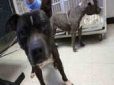 Adopt DROOP a Black American Pit Bull Terrier / Mixed dog in Redlands